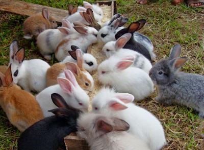 Panen Kelinci