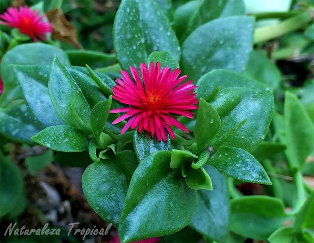Otra foto de la flor típica de la planta Rocío, Aptenia cordifolia