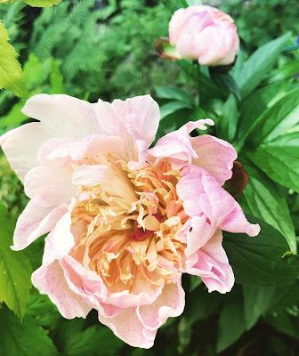 Ewelinan toinen kukka auki ja toinen nupulla