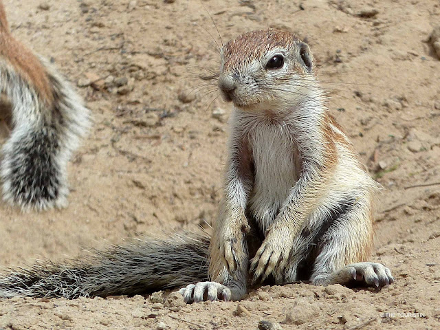 South Africa, wildlife, Ground Squirrels, Northern Cape, Kgalagadi National Park
