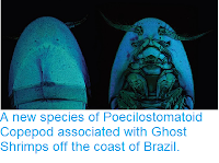 http://sciencythoughts.blogspot.co.uk/2014/01/a-new-species-of-poecilostomatoid.html