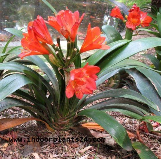Clivm Miniata Amaryllidaceae indoor house Plant