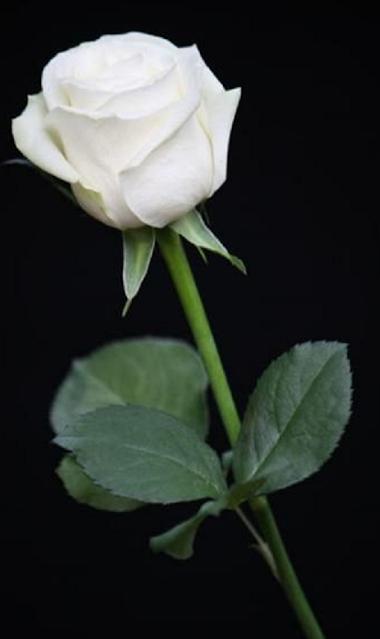 bunga mawar putih