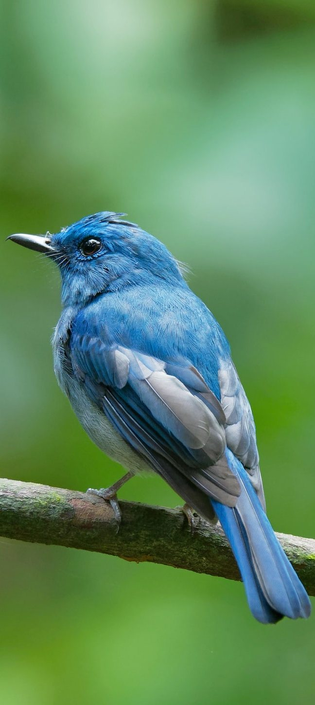 Pale blue flycatcher.
