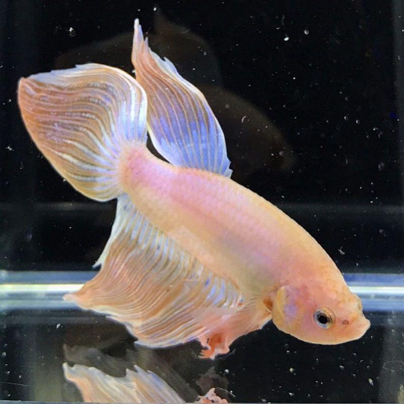 Image Pink Betta Fish 2