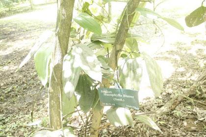 Manfaat Flora Canar (Smilax Leucophylla)