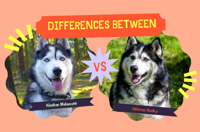 What's the Difference Between an Alaskan Malamute and a Husky