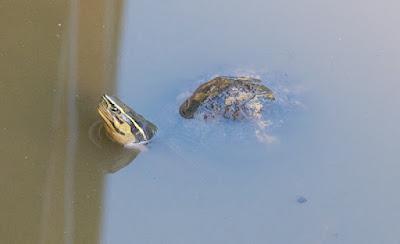 South Asian box turtle (Cuora amboinensis)