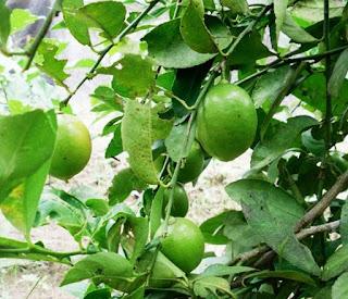 cara menanam jeruk nipis di rumah,berapa lama jeruk nipis berbuah,cara perawatan pohon jeruk nipis,pohon jeruk nipis,tanaman jeruk nipis,media tanam jeruk nipis,