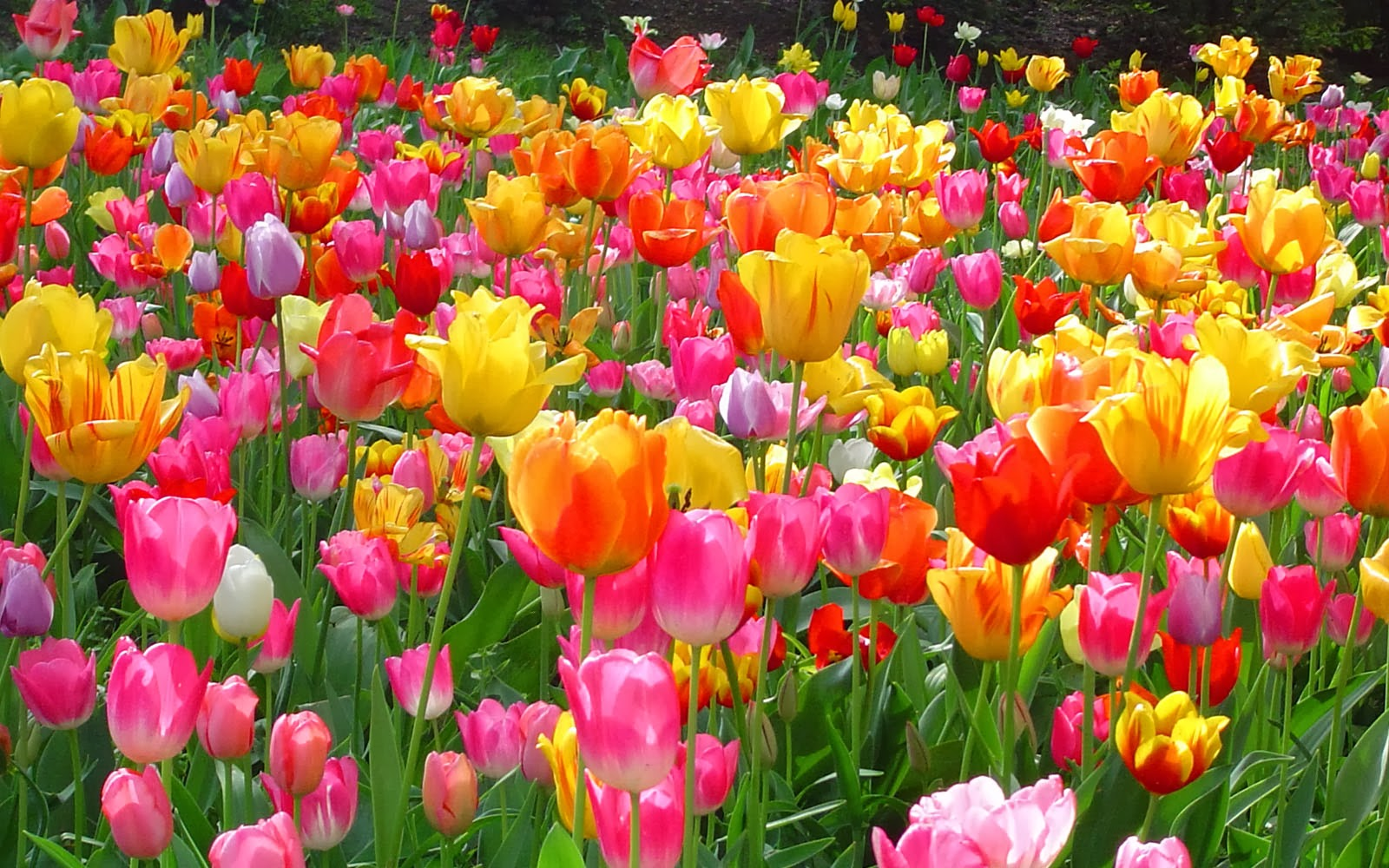 Wallpapers: Tulips Wallpapers
