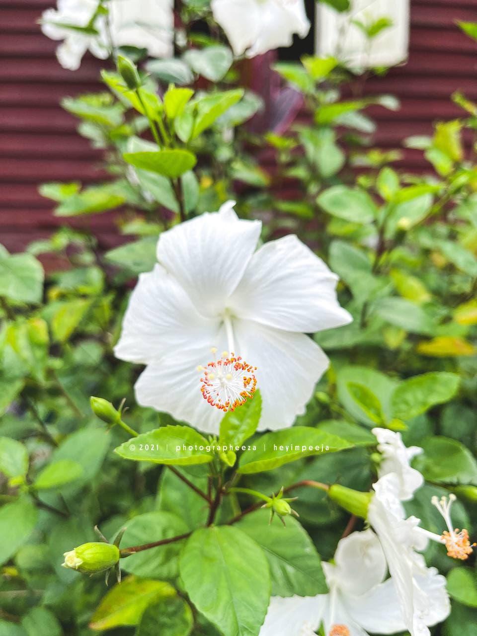 Bunga Raya Putih
