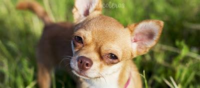 Historia perro Chihuahua