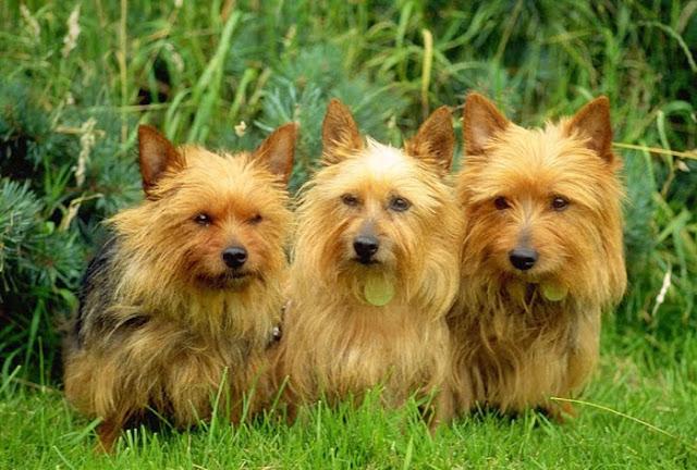 The dog in world: Australian Terrier dogs