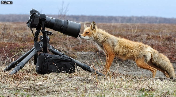 Funny Fox Latest Facts Amp Pictures Funny And Cute Animals