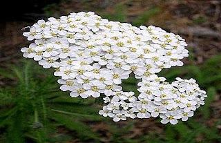 Achillea millefolium أم الألف ورقة الأخيلية