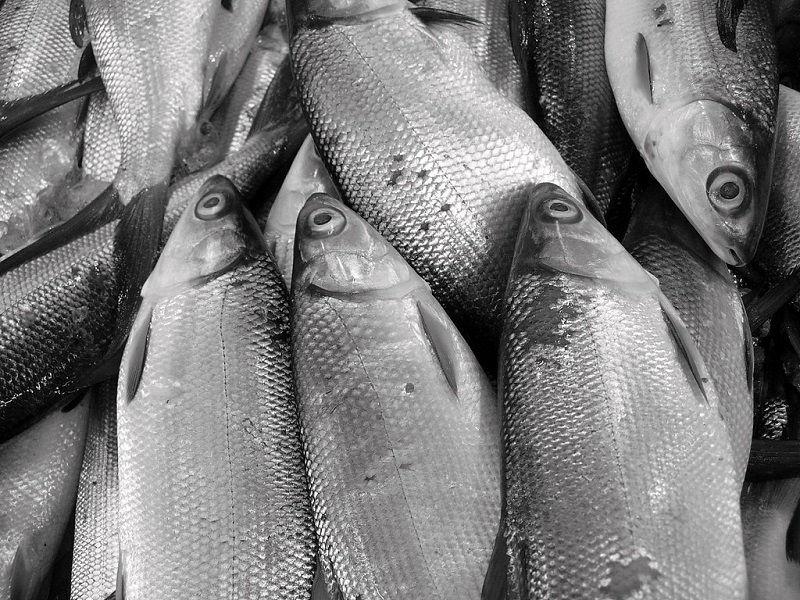 ikan bandeng hidup di air