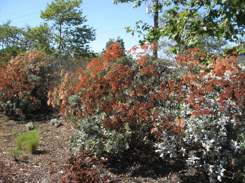 For A Complete List Of Native Plants (appropriate For Lower Elevation S.  California) With Fall Flower, Seed And Fruit Color See: