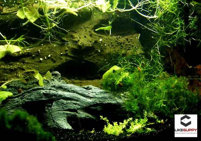 Plantes-Aquarium