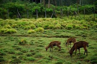 Penangkaran rusa di Bumi Perkemahan Ranca Upas Ciwidey Bandung
