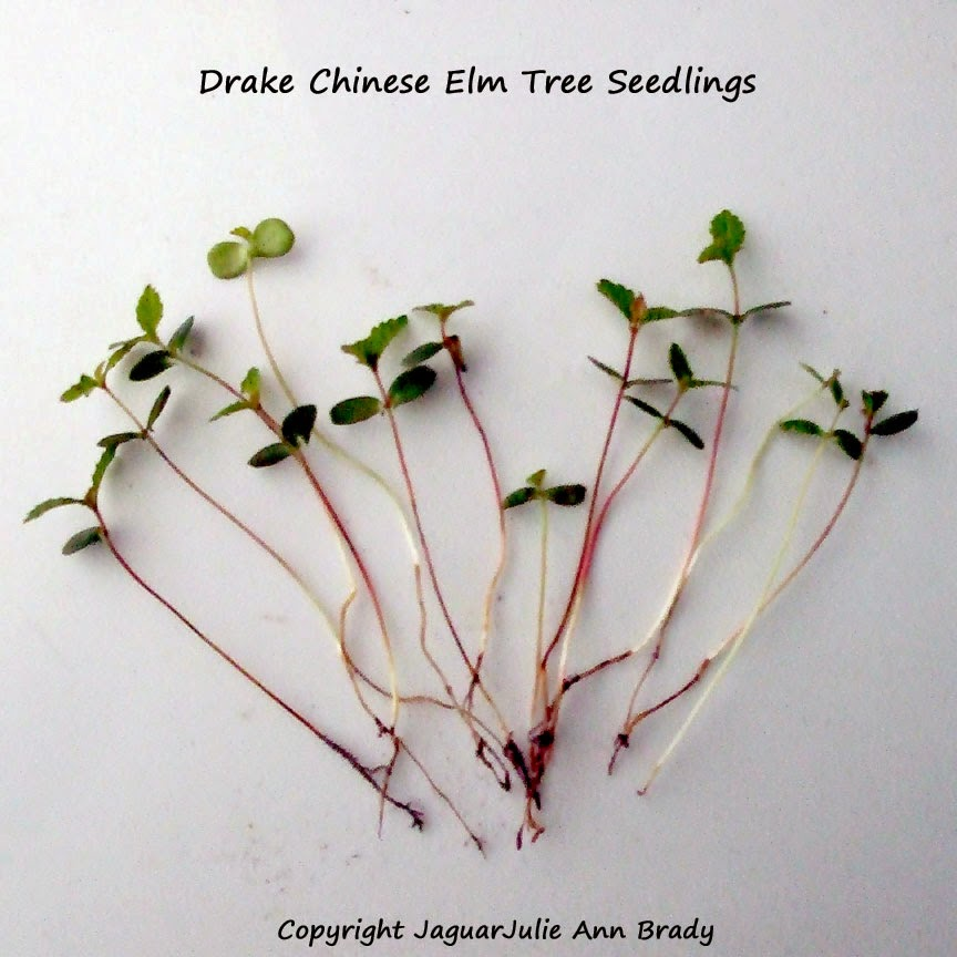Drake Chinese Elm Tree Seedlings