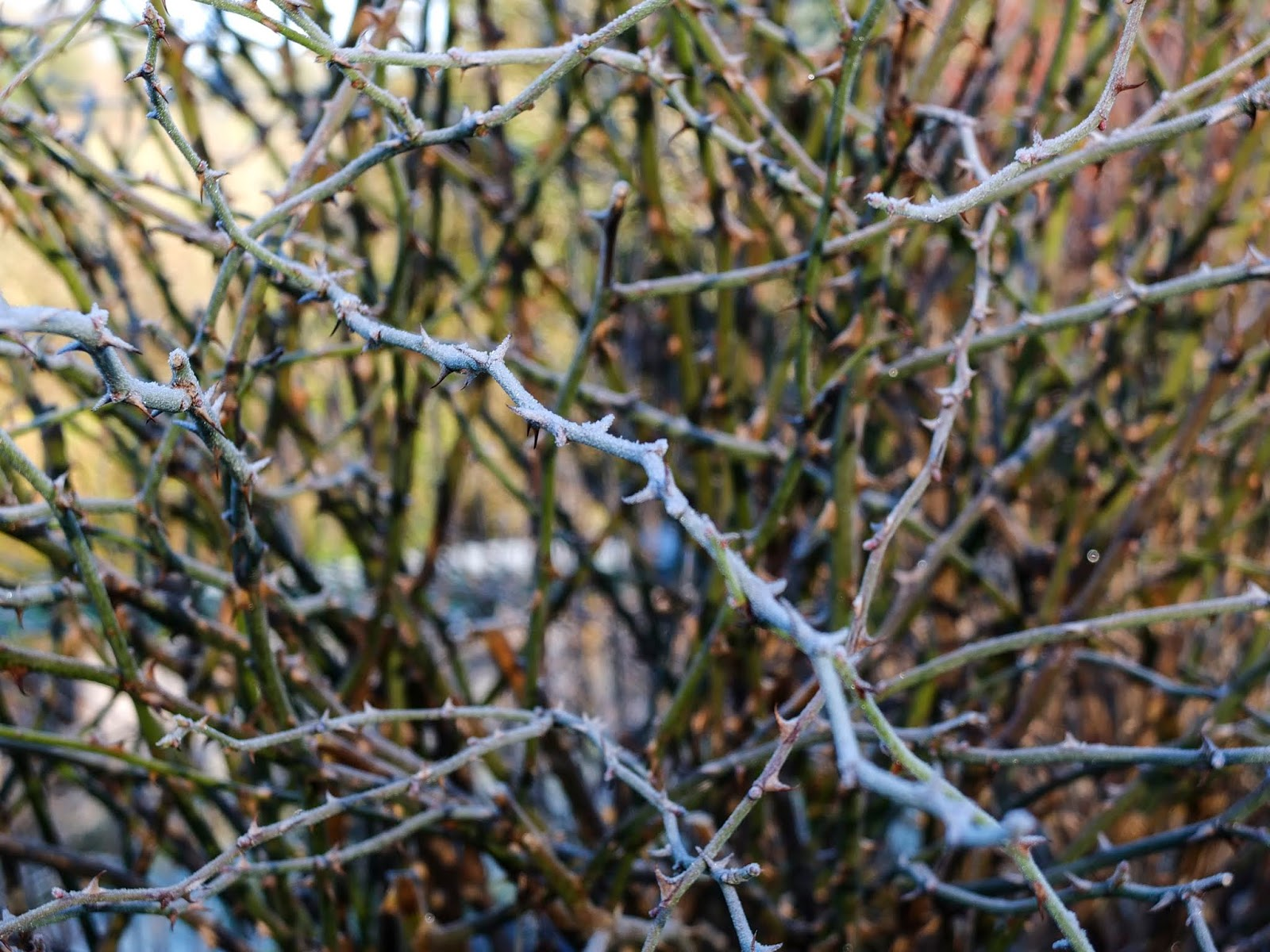 A close up of a frost covered rose branch.