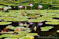 lotuses demonstrate the visualization to accompany breast cancer meditation