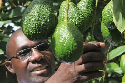 avocado farming in Kenya