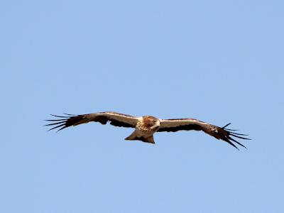 Águila calzada una de las rapaces del entorno de la laguna