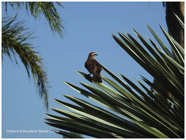 Calandria posada en una palmera- Chacra Educativa Santa Lucía