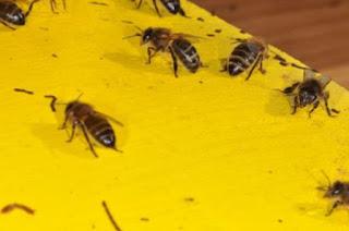نوزيما النحل