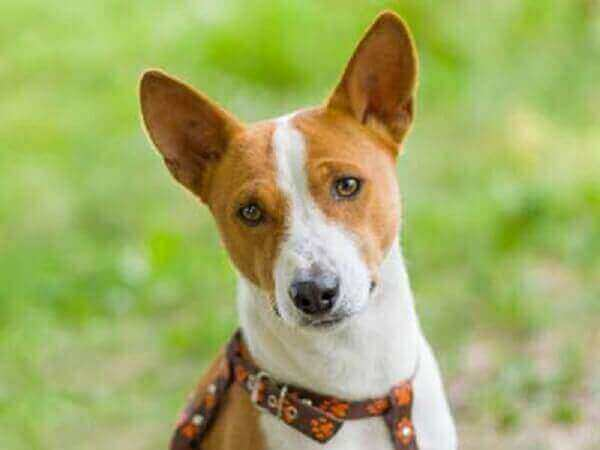 Basenji-dogs that don't shed