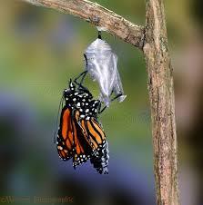 Monarch Hatching