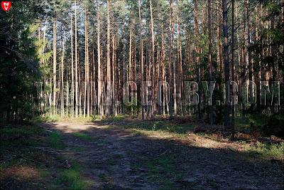 Налибокская пуща. Порубка леса за хутором Дупляны