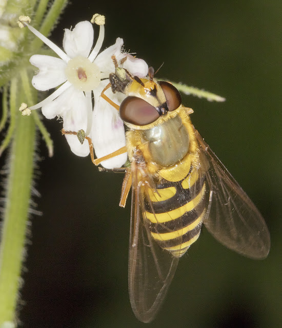 Hoverfly, Syrphus species.  Walk round the Hawkwood Estate, 30 August 2016
