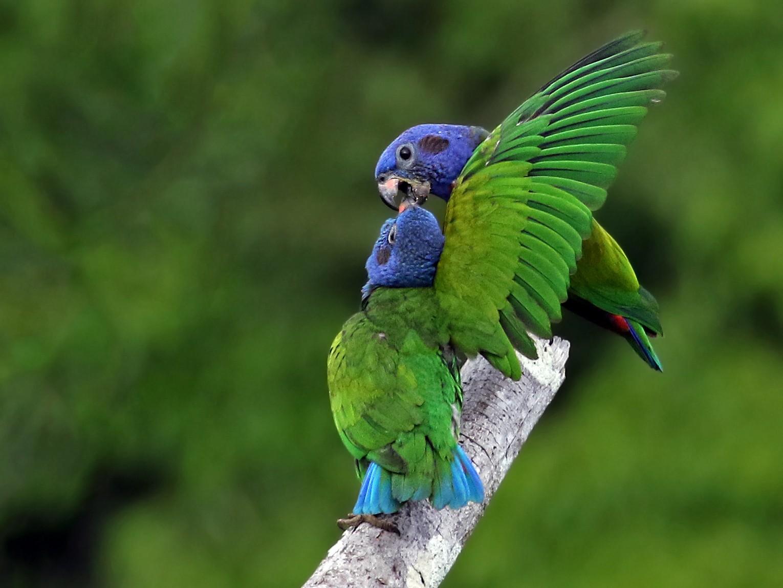 Maitaca-de-Cabeça-Azul (Pionus menstruus)