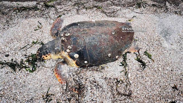 Αργολίδα: Θλιβερό θέαμα με ακόμα μια νεκρή θαλάσσια χελώνα (βίντεο)