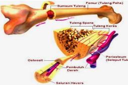 Pengertian Tulang Keras Beserta Ciri, Fungsi, Struktur Bagian, Jenis Dan Contohnya Terlengkap
