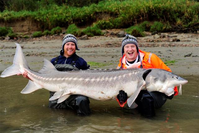 International Fishing News: CANADA: Huge sturgeon on Fraser River