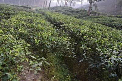 Mathiura tea estate