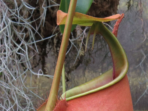 fanged pitcher plant at Meijer Gardens