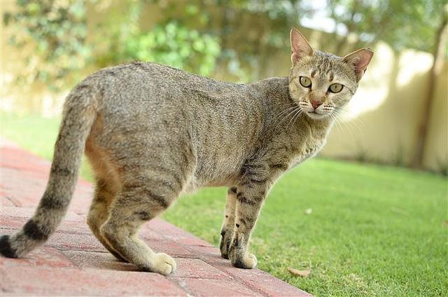 Arabian-mau-cats-healthiana