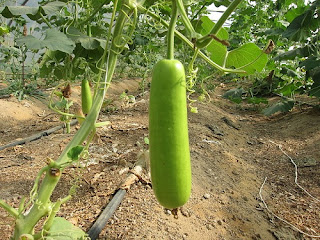 Health benefits of using Bottle gourd