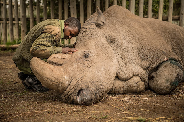 The worlds last male white rhino is dead