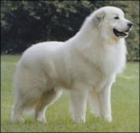 Abruzzese Mastiff