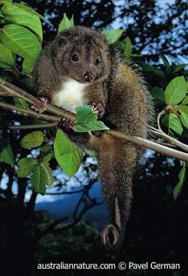 Oposum cola cobriza (Pseudocheirops cupreus)