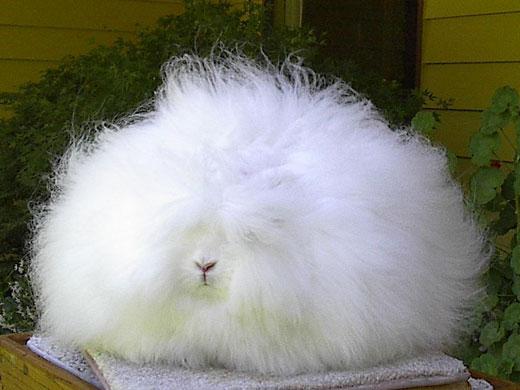 english angora rabbits - photo #37
