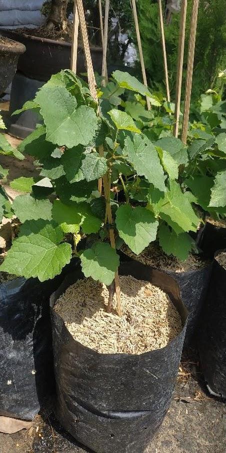 Bibit buah anggur hijau import merah super hidup ninel jupiter manis Sulawesi Utara