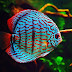 How to Grow Discus Fish