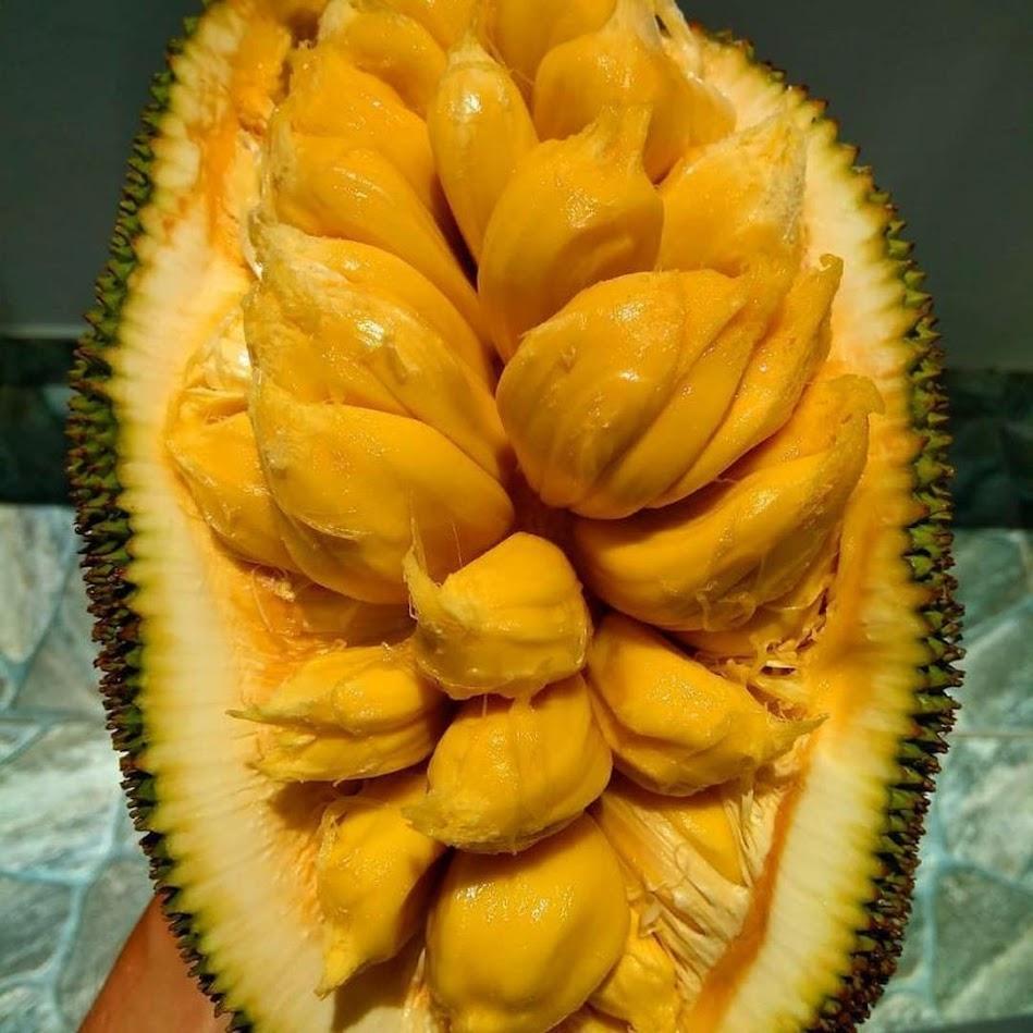 bibit nangka cempedak bibit buah nangkadak okulasi cepat berbuah Nusa Tenggara Barat