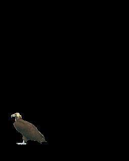 Eagle Png hd